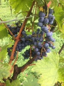 15 uva prima della raccolta