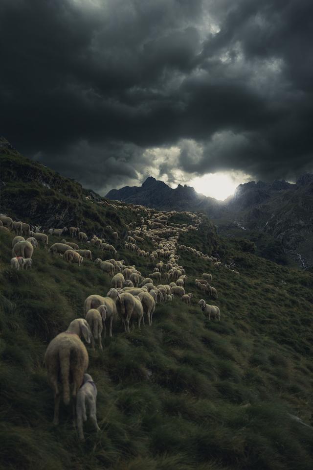 marcia di pecore Mauro Scattolini.jpg