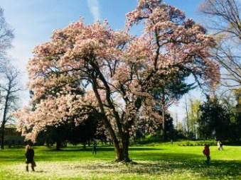 magnolia-in-fiore.jpg