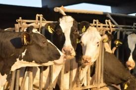 I vitelli dell'azienda agricla Palamini