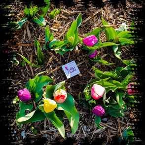 Tulipania campo di fiori