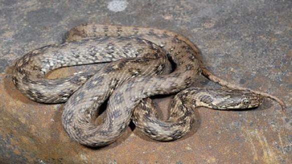 Natrice viperina serpente innocuo