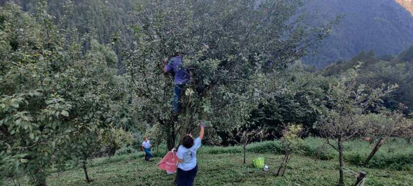 Persone che raccolgono le mele dai frutteti di Sparavera