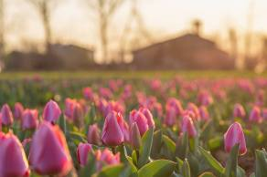Quindicipertiche tulipani fucsia a Castel Cerreto