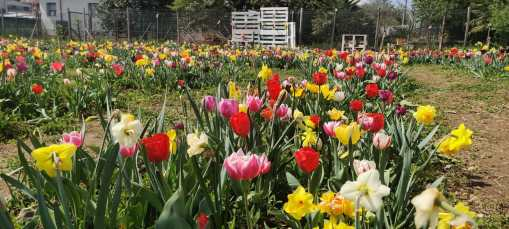 Tulipani a Tulipania