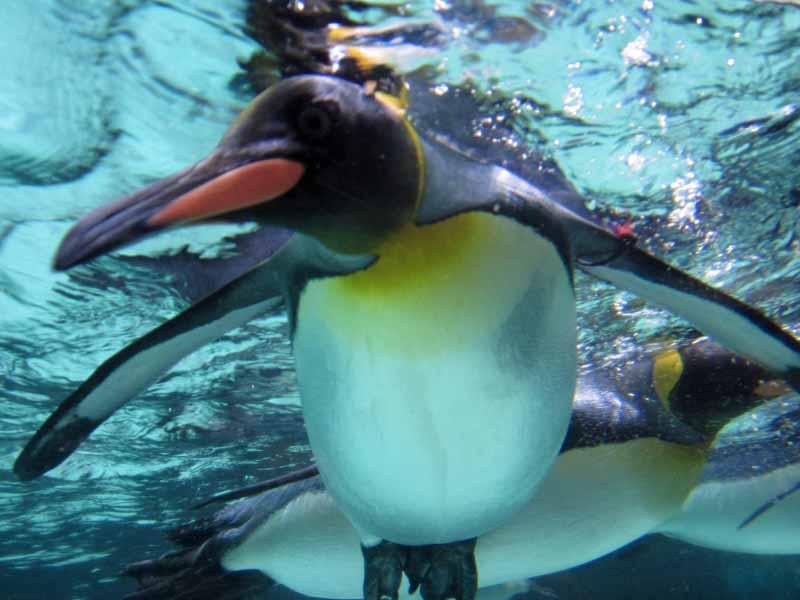 Penguins at the Melbourne Aquarium.