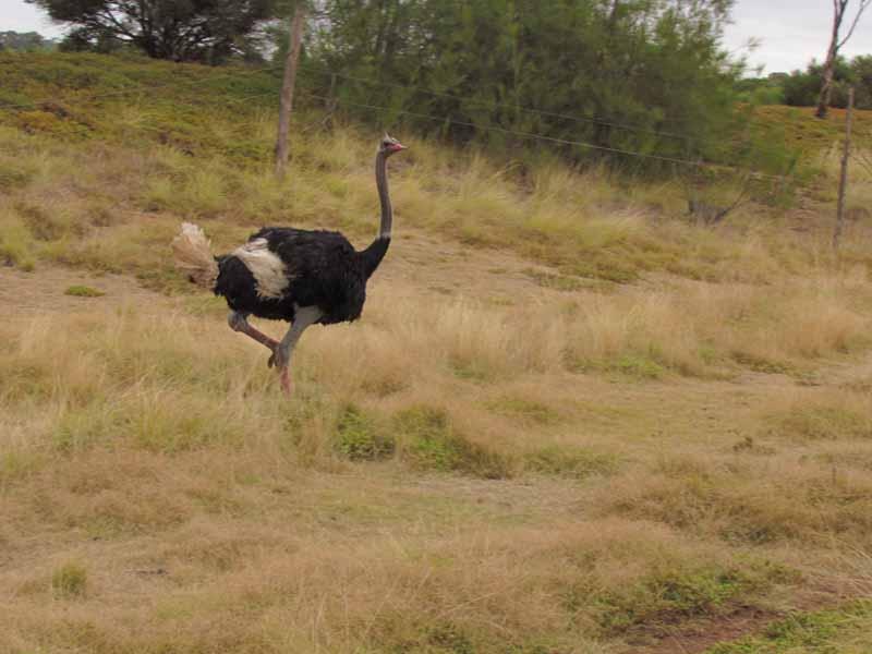 An emu at Werribee Zoo.