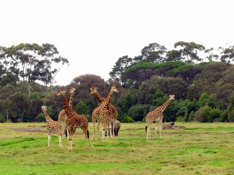Giraffes at at Werribee Zoo.