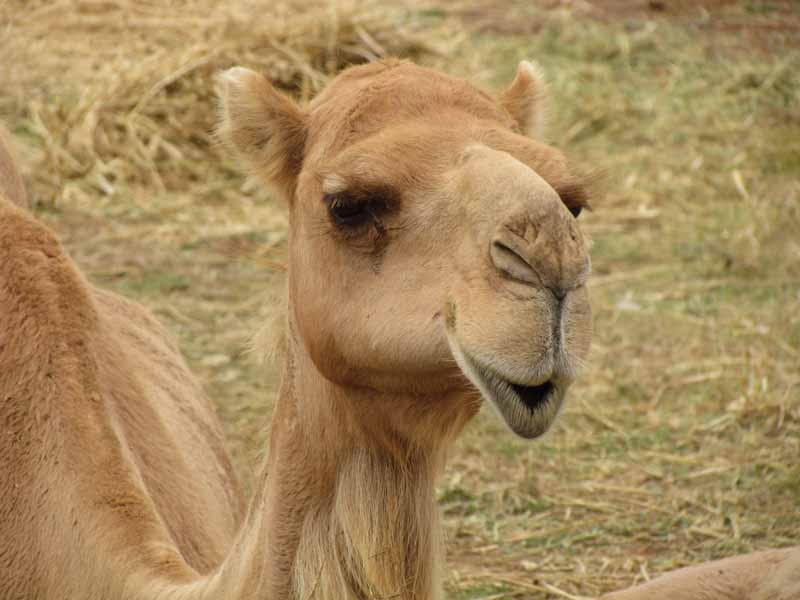 A camel at at Werribee Zoo.