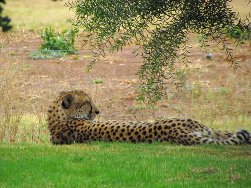 A cheetah at Werribee Zoo.
