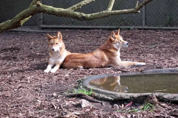 Dingoes at Healesville Sanctuary.
