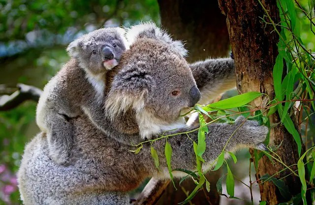 Female koala and joey for fun facts about Australia.