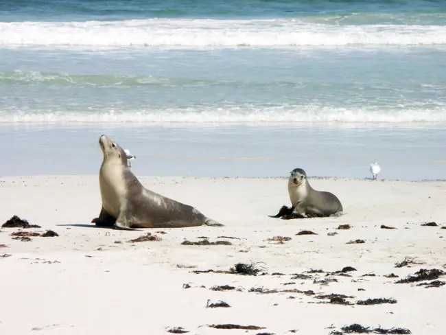 Seals on the beach of Kangaroo Island.