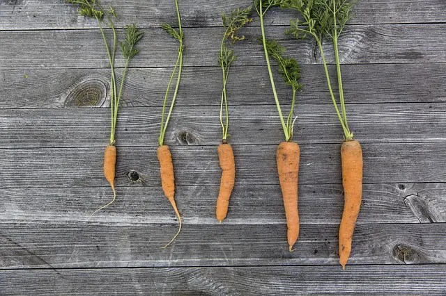 Five carrots from the garden in Melbourne.