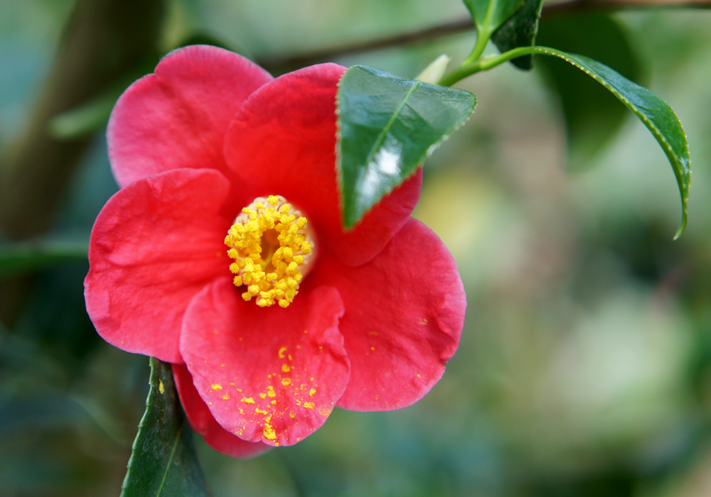 Camellia Japonica Tama No Ura