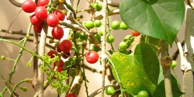 Растение Гудучи