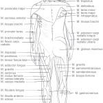 Viktiga muskler i kroppen.