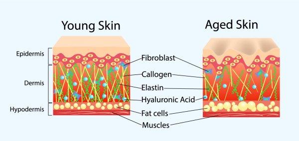 young skin vs old skin
