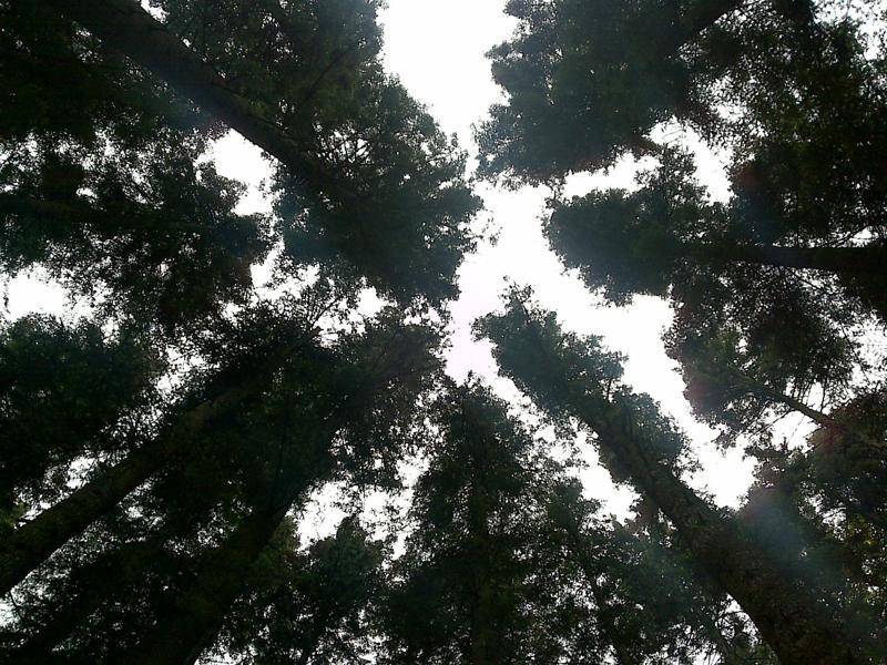 Copaci în Bucegi