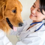 golden retriever and veterinarian