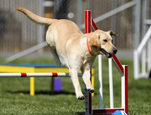Dog performing agility tasks - dog sports competition