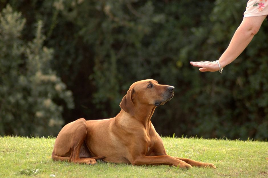 Canine Obedience Training Image