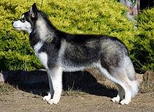 220px-Siberian-husky