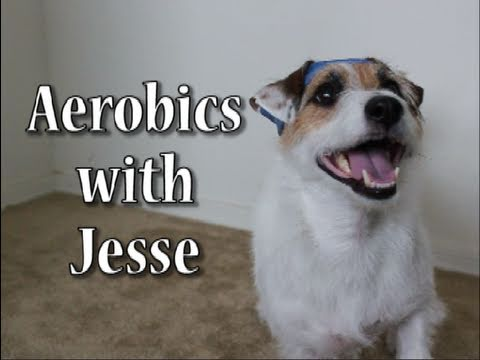 jesse_the_jack_russell_does_aerobics-1
