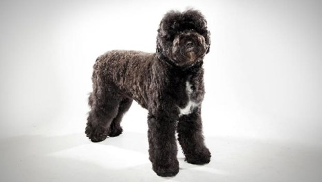 Portuguese Water Dog animalplanet.com