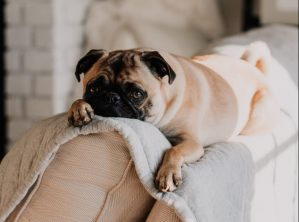 Pug on a couch