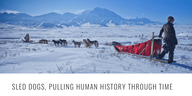 sled dog pulling history HEADER