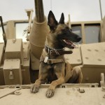 Belgian Malinois Sitting on Top of Tank