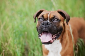 boxer. Allergy. Atopic.. Alergia