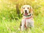 Beagle. A beautiful shot of a dog in the grass.