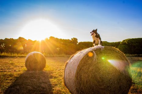 Border Collie Fields