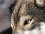 Husky's eye