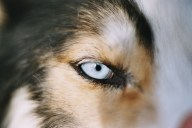 Siberian husky's blue eyes Cosmodoggyland Interview Series