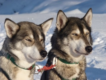 Two Siberian huskies in the snow- Cosmodoggyland Interview Series