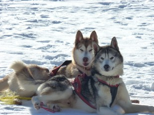 Two beautiful Siberian huskies relaxing on the snow - Cosmodoggyland Interview Series