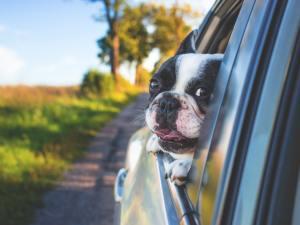French Bulldog car ride Cosmodoggyland - Tesla dog mode