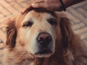 Golden Retriever getting pet