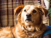 Golden Retriever sitting on couch