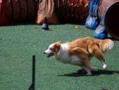chien en compétition d'agilité et d'obéissance