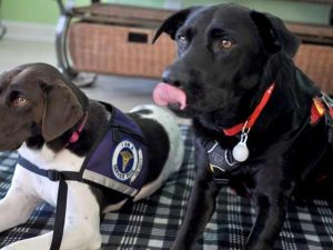 Service dogs laying down