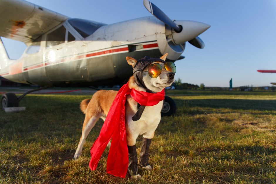 Funny photo of the Shiba Inu dog dressed a pilot in front of plane
