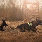 German Shepherd Dogs Running - K-9 Unit