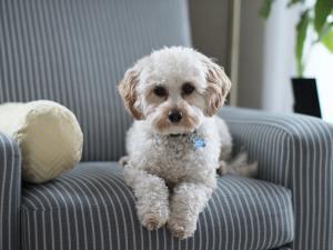 shih tzu puppy on sofa
