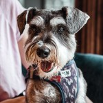 Schnauzer dog for allergic people
