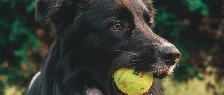Dog Trainer Online Course