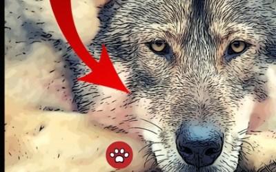 WOLVES The DOG Ancestors - Learning Animals Nature Dog Human